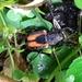 Clinterocera nigra - Photo (c) 邱仲良, all rights reserved