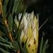 Protea repens - Photo (c) Merle Melvill, todos los derechos reservados