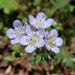 Phacelia dubia - Photo (c) brucebob, todos los derechos reservados
