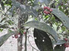 Casearia commersoniana image