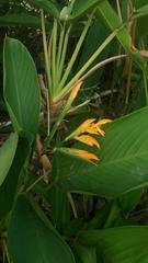 Stromanthe jacquinii image