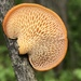 Hexagonal-pored Polypore - Photo (c) Julie Travaglini, all rights reserved