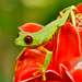 Red-eyed Tree Frog - Photo (c) eligar7, all rights reserved, uploaded by Elí García-Padilla