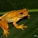 Dendropsophus microcephalus - Photo (c) eligarcia-padilla, כל הזכויות שמורות, uploaded by Elí García-Padilla