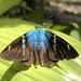 Saltarina Relámpago Azul de Dos Barras - Photo (c) Darwin Varela Lascano, todos los derechos reservados