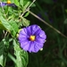 Lycium-like Solanum - Photo (c) Clara Cortes Heredia, all rights reserved