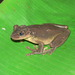 Jordan's Casque-headed Tree Frog - Photo (c) jplarry, all rights reserved, uploaded by J.P. Lawrence