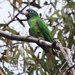 Blue-crowned Parakeet - Photo (c) reilhag, all rights reserved