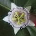 Passiflora sicyoides - Photo (c) Arturo Hernandez, todos los derechos reservados
