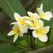 White Frangipani - Photo (c) Ida Lui, all rights reserved