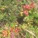 Berberis pinnata pinnata - Photo (c) bretthall, todos los derechos reservados