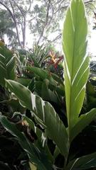Heliconia latispatha image