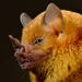 Little Yellow-shouldered Bat - Photo (c) Arnulfo Moreno, all rights reserved