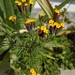 Tagetes multiflora - Photo (c) Lucia Lottersberger, כל הזכויות שמורות