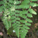 Woolly Lipfern - Photo (c) Eric in SF, all rights reserved, uploaded by Eric Hunt