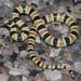 Chionactis annulata - Photo (c) Cody Hough, todos los derechos reservados