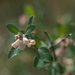 Roundleaf Snowberry - Photo (c) Eric in SF, all rights reserved, uploaded by Eric Hunt