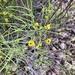 Senna artemisioides filifolia - Photo (c) Debbie Brashear, todos los derechos reservados