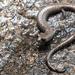 Tehachapi Slender Salamander - Photo (c) Ben Witzke, all rights reserved
