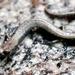 Fairview Slender Salamander - Photo (c) Ben Witzke, all rights reserved