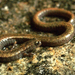Hell Hollow Slender Salamander - Photo (c) Ben Witzke, all rights reserved