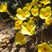 Golden Linanthus - Photo (c) dkoops22, all rights reserved