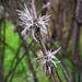 Tillandsia virescens - Photo (c) Adriana Milenka Torrico Cardoso, todos los derechos reservados
