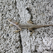 Guerreran Oak Anole - Photo (c) negronahual, all rights reserved, uploaded by Zabdiel Peralta