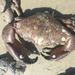 Florida Stone Crab - Photo (c) Liz Duermit, all rights reserved