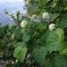 Physocarpus opulifolius - Photo (c) Alonso Abugattas, todos los derechos reservados