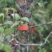 Brachyotum microdon - Photo (c) Carla Maldonado, all rights reserved