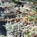 Scirpus nodosus - Photo (c) Mogamat Samsodien, todos los derechos reservados