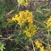 Willow Ragwort - Photo (c) katya garduño, all rights reserved