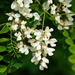 Black Locust - Photo (c) Eric Koberle, all rights reserved