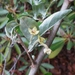 Autumn olive - Photo (c) John Ratzlaff, all rights reserved, uploaded by J. Allen Ratzlaff