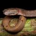 Trimeresurus borneensis - Photo (c) Matthieu Berroneau, todos los derechos reservados