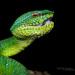 Tropidolaemus subannulatus - Photo (c) Matthieu Berroneau, todos los derechos reservados
