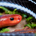 Blue Malaysian Coralsnake - Photo (c) Matthieu Berroneau, all rights reserved