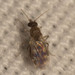 Culicoides - Photo (c) John Schneider, todos los derechos reservados