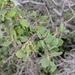 Quercus john-tuckeri - Photo (c) Jonathan Numer, όλα τα δικαιώματα διατηρούνται