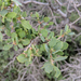 Quercus john-tuckeri - Photo (c) Jonathan Numer, todos los derechos reservados