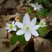 Rue Anemone - Photo (c) Dave Edmonds, all rights reserved