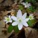 Thalictrum thalictroides - Photo (c) Dave Edmonds, todos los derechos reservados