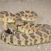 Northern Pacific Rattlesnake - Photo (c) Alice Abela, all rights reserved