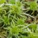 Sphagnum squarrosum - Photo (c) mossy, todos los derechos reservados