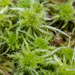 Crome Sphagnum - Photo (c) mossy, all rights reserved