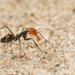Dorymyrmex goetschi - Photo (c) Patrich Cerpa, all rights reserved