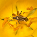 Phytocoris - Photo (c) Patrich Cerpa, all rights reserved