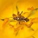 Phytocoris - Photo (c) Patrich Cerpa, todos los derechos reservados