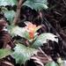 Desfontainia spinosa - Photo (c) Andrea Castillo Aduviri, todos los derechos reservados
